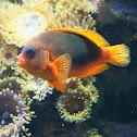 Red saddleback anemonefish or saddle anemonefish