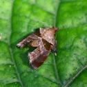 Tosale moth