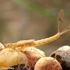 Mayfly Larva