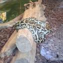 Indian python, black-tailed python and Indian rock python