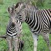 Burchell's Zebra with baby