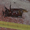 Asiatic Rhinoceros Beetle or Coconut Rhinoceros Beetle