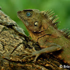 Negros forest dragon