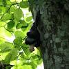 Black arion