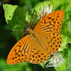 Silver-washed Fritillary - Tabac d'Espagne - Kaisermantel (male)