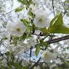 Flor de Ginjeira