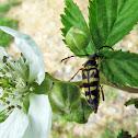 Zebra longhorn beetle