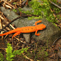 Eastern (Red-Spotted) Newt