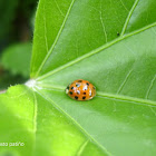 Mariquita - Lady bug