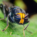 Yellow headed soldier fly