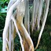 Indian Banyan
