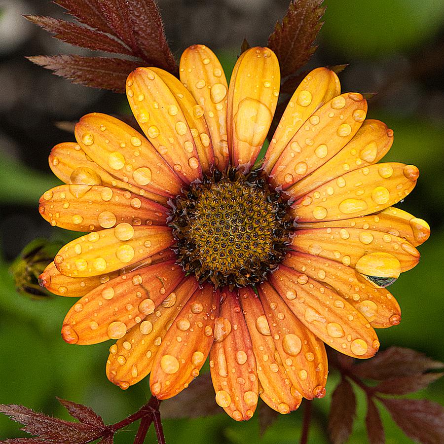 African Daisy by Arnaldo Ronca - Flowers Single Flower ( osteospermum,  )