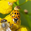 Harlequin Ladybeetle ( or Multicolored Asian LadyBeetle)