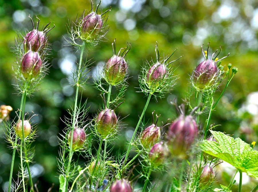 Seed Pods by Janet Young- Abeyta - Flowers Flowers in the Wild (  )
