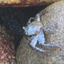 Sally Lightfood Crab