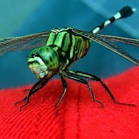 Indian Dragon Fly by Sankar GM - Animals Insects & Spiders