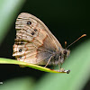 Mexican Pine-Satyr Butterfly