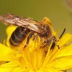 Andrena fulvago