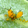 Parental Care in Aphids