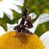 Spotted Thyris Moth