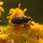 Unknown Weevil