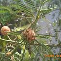 Leucaena leucocephala - الليوسينيا