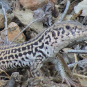 Coastal Whiptail Lizard