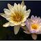 Water lillies Okovango River.JPG