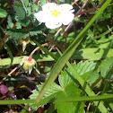 Wild strawberry, bosaardbei (dutch)