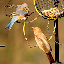 Northern cardinal & Eastern bluebird