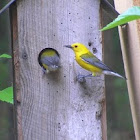 Prothonotary Warbler pair