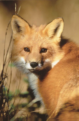 red-fox-Quebec - A red fox in Duplessis (Cote-Nord), Quebec, Canada.