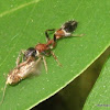 ant-minic spider (male)