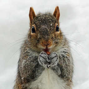 I Got a Peanut by Jeff Galbraith - Animals Other Mammals ( peanut, winter, cold, furry, snow, eating, grey, cute, rodent, mammal, squirrel )