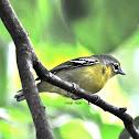 Chestnut - fronted Shrike Babbler