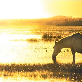 Golden hour by Sergio Moya - Landscapes Sunsets & Sunrises ( field, nature, sunset, horse, esteros del ibera, whater, gold, sunrise, landscape, goldenhour, animal )