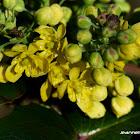Oregon Grape flowers