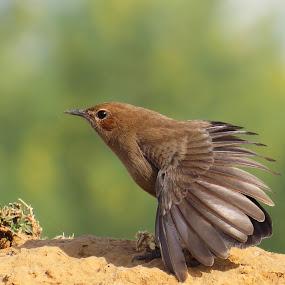 Display by Kishan Meena - Animals Birds ( bird, robin, nature, indian, wildlife, beauty )
