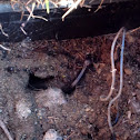 Northwestern salamander