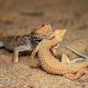 Desert Monitor eating Schmidt's Fringe-Toed Lizard