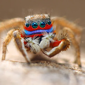 Mr.Color by Karthi Keyan - Animals Insects & Spiders ( macro, salticidae, colorful jumping spider, jumping spider, insects )