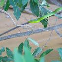 Oxybelis fulgidus
