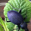 Huge violet ground beetle-Menekşe karafatma