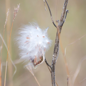 Milkweed seeds by Priscilla Capelle-Haehn - Nature Up Close Leaves & Grasses ( plants, milkweed, fluff, seeds, pod )