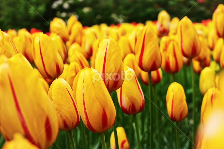 Tulips 1 by Krishna & Garuda (Adrian Radu) - Flowers Flower Gardens (  )
