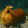 Golden Mantis Shrimp