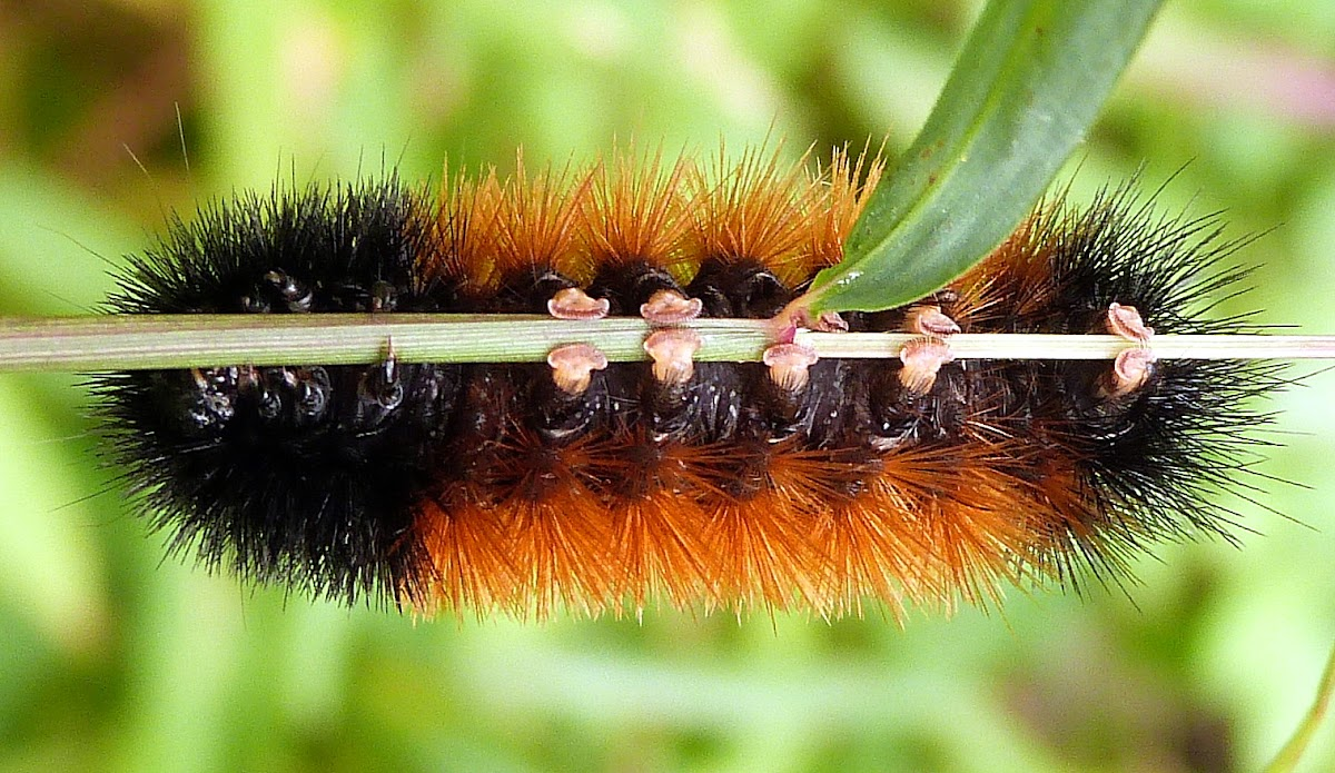 Banded Woolly Bear