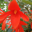 Red hanging flower