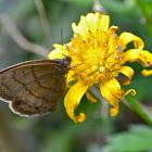Satyr Butterfly