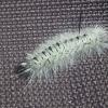 Hiockory Tussock Moth Larva